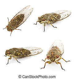 Four cicada isolated on white background - Four cicada macro...