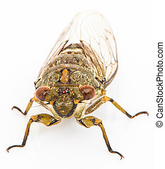 Cicada isolated on white background - Cicada macro isolated...