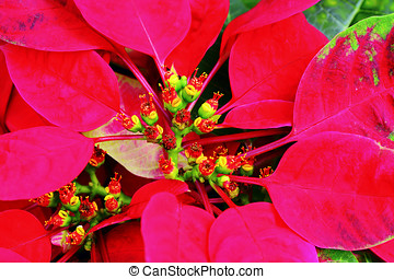 Christmas Flower - Macro shot of a beautiful christmas...