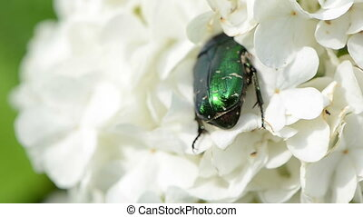 white inflorescence bug - close view the green beetles...