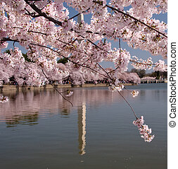 Unusual reflection of Washington Monument - Cherry blossoms...