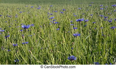 sun lit cornflower field