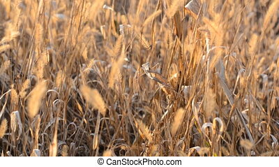 Dry Blured Grass With Focus Motion through the Scene
