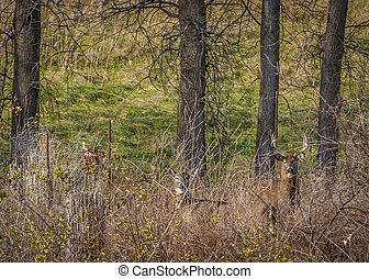 Whitetail Deer Buck And Doe - Whitetail Deer Buck and dor...