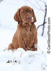 Hungarian Short-haired Pointing Dog in winter - Hungarian...
