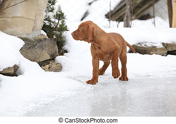 Puppy of Hungarian Short-haired Pointing Dog on frozen lake