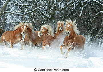Batch of haflingers together in winter - Batch of haflingers...