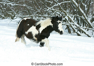 Amazing young irish cob running in winte - Amazing young...