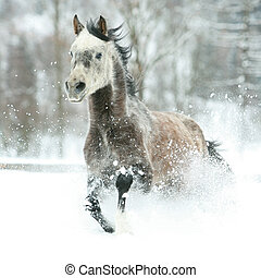 Gorgeous arabian horse running in winter - Gorgeous arabian...