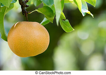Japanese nashi pear (Pyrus Pyrifolia) - Asian pear tree with...