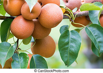 Japanese nashi pears (Pyrus Pyrifolia) - Asian pear tree...