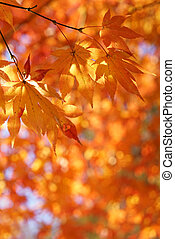Maple tree leaves back lit by sunlight - Autumn leaves on a...