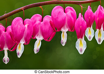Bleeding Hearts - Row of bleeding heart blossoms hanging on...