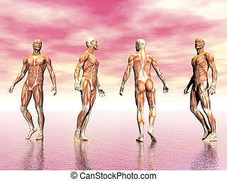 Muscles of man - 3D render - Realistic man muscles from four...