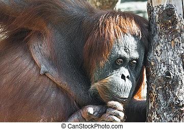 Orangutan - Cute photo of great ape red Bornean Orangutan