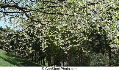 twig bloom fruit tree - White apple cherry fruit tree twig...