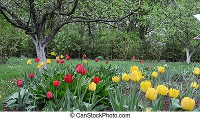 tulips garden woman wet