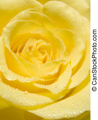 Yellow rose - Close-up of water droplets on petals of yellow...