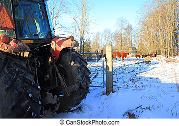 cattle in the cow pasture and a backhoe