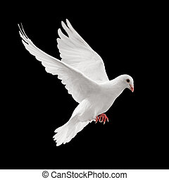 flying pigeon - flying white dove isolated on black...