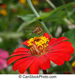 Bees fly - Bee on zinnia flower in the morning