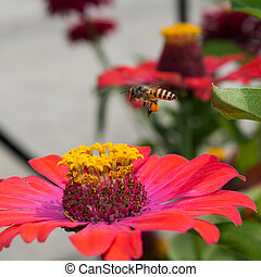 Bees fly. - Bee on zinnia flower in the morning.