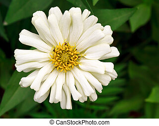 Zinnia. - Close-up beautiful zinnia in the garden.