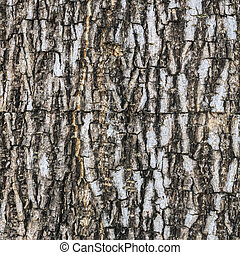 Rind. - Texture of tree bark in tropical forests.