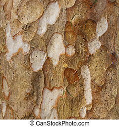 Rind - Texture of tree bark in tropical forests