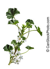 Malva neglecta wildflower - Malva neglecta common Mallow...