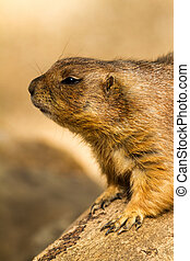 Marmot - Close up portrait of marmot