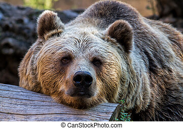 Bear - The brown bear in the zoo