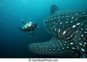 scuba diver approaching whale shark in galapagos islands...