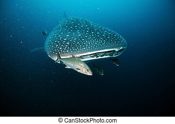Approaching head of whale shark - closeup of approacing...