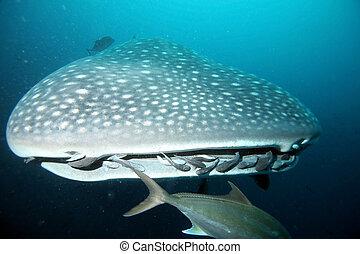 cabeza, ballena, tiburón, Se acercar