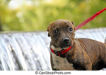 Staffie Pup - Staffordshire puppy on a red lead