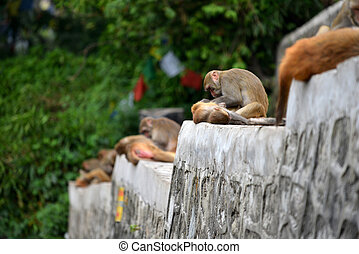 Monkey at Swayambhunath, Nepal - Macaque monkeys, at...