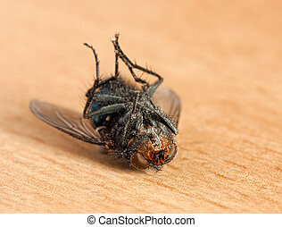 Dead fly - Macro shot of a dead dusty housefly lying upside...