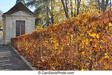 hornbeam hedge -  hedge golden foliage in an alley
