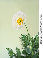 Poppy - White poppy with leaves isolated on white...