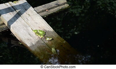 group green frogs - on the boards immersed in the water...