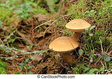 Mushroom suillus bovinus growing in the forest (Suillus...