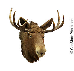 Moose head on a white background (Alces alces), isolated