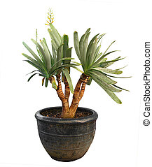 Yucca in Pot - Yucca isolated with clipping path