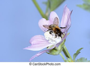 Bee at the pistil of a pink flower