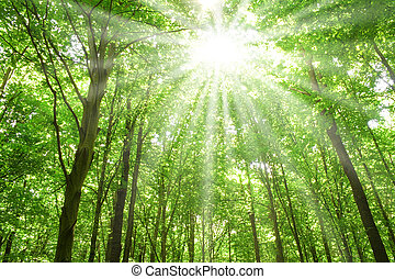 sunlight in trees of forest - summer nature. sunlight in...
