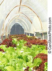 黃油, 農場, 頭, 蔬菜, 營養液培養