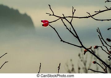 rose hips in morning fog