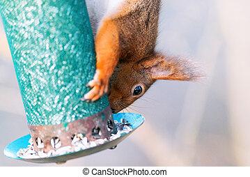 Squirrel feeding from a birdfeeder upside down, closeup
