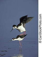 Black-necked stilt, Himantopus mexicanus, two birds mating,...
